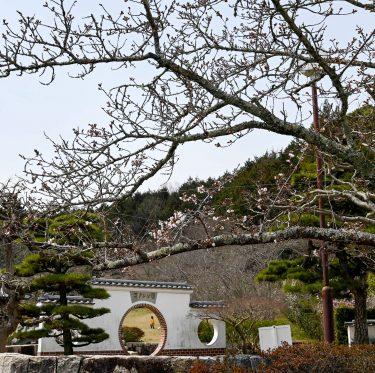 まきび公園の桜の様子(令和2年3月26日現在) 1-3