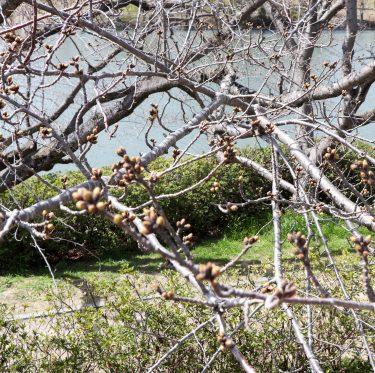 酒津公園の桜の様子(令和2年3月21日) 1-3