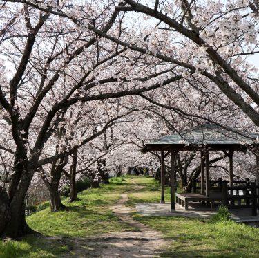 酒津公園の桜(令和2年4月4日) 1-2