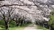 酒津公園の桜(令和2年4月4日)