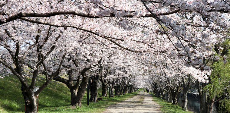 酒津公園の桜(令和2年4月4日) 1-1