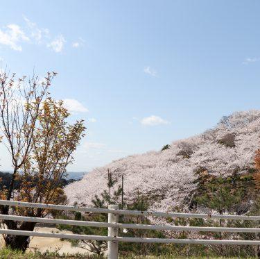 種松山の桜(令和2年4月5日) 1-3